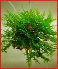 10+extra RED CHERRY SHRIMP
