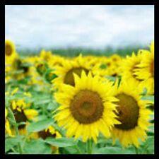 Mammoth Sunflower Seeds | Grey Stripe Sunflower Seeds for Planting Home Gardens