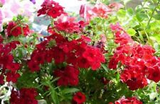 30+  PHLOX SCARLET RED / FRAGRANT, ANNUAL SELF SOWS TO PERENNIAL FLOWER SEEDS