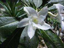 Pachypodium lamerei - Madagascan Palm - Seeds