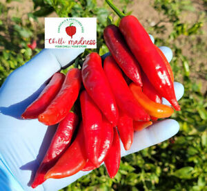 Chilli Lombok an Indonesia Sweet Spicy Pepper Sustainably Grown in OZ 10 Seeds