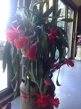 Red Epiphyllum Cactus Rooted Plant With New Growth