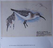 Beau Tunnicliffe Oiseau Imprimé ~ Curlew Bécasseau