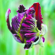 100 Pcs Beautiful Rare Parrot Tulip Bulbs Seeds Home Garden Decor Fashion