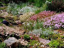 6 Different Evergreen Alpine Plug Plants ,, Perennials, Ground cover, All Named