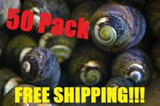 50x Black Margarita Snail Slime / Hair Algae Eater Clean Up Crew FREE SHIPPING!