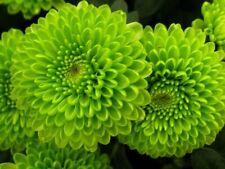 Usa Seller 200 Seeds Green Chrysanthemum Mums Flowers Garden Planting