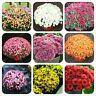 100 Pcs/Bag Flower Seeds Ground-cover Chrysanthemum Perennial Bonsai Daisy Potte