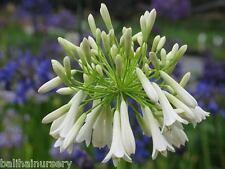 3 New Agapanthus inapertus White Cloud good white flowers, garden plant