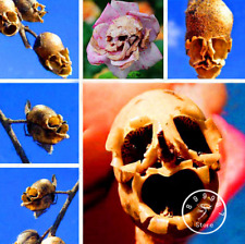 100 PCS Seeds Death Rose Bonsai Rare Mysterious Plants Flowers Free Shipping New
