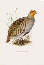 Reclamos (Perdix perdix) feldhuhn impresión en color 1958 ornitología