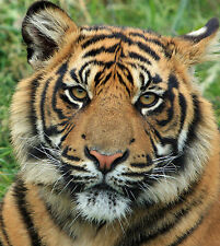 Tiger Cub Portrait 8x10 High Quality Photo Picture