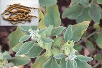 150 Ashwagandha Seeds -  Organic - Withania somnifera - Indian ginseng