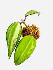 A2535 Hoya Macrophylla variegate Pot Of Gold No Roots💕