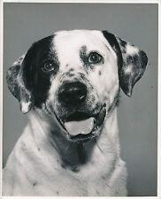 DALMATIEN  c. 1950 - Chien Chiot  Grand Format - CH 33