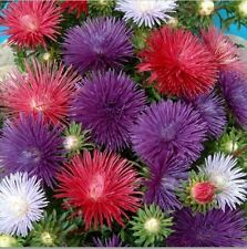 Flower - Kings Seeds - Picture Packet - Aster - Starlight Mixed - 200 Seed