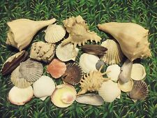 """Assortment Shell Collection Lot of Beautiful 1.5"""" to 6.5"""" Seashells"""