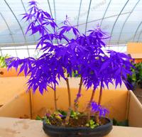 20 PCS Seeds Mini Colors Mixed Japanese Maple Tree Flores Plants Bonsai Garden G