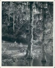 Spanish Moss Cypress Tree Lake Charles Louisiana Press Photo