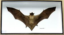 Real Rare Exotic Horseshoe Big Bat Taxidermy Insect Display In Box Collectible
