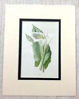 Antico Botanico Stampa Bianco Giglio Arum Fiore Bloom Floreale Art Ca. 1913