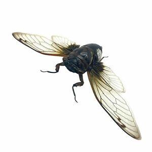 Cicada (Cryptotympana acuta) True Bug Insect Collector Specimen Art