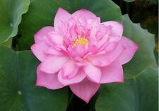 Live Lancelot Lotus Tuber Aquatic Plant