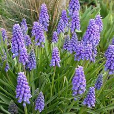 Pack 20 Grape Hyacinth Muscari Armeniacum 'Blue' WPC Prins Quality Spring Bulbs