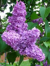 Heirloom 50 Seeds Syringa Lilac Early Purple Flowers