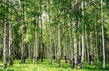 Fototapete-BIRCH FOREST-(13P)-350x260cm-Digitaldruck 7 Bahnen-mit Kleister-Wald