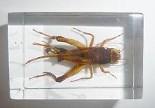 Grass Cricket Paratrigonidium bifasciatum Clear Block Education Insect Specimen