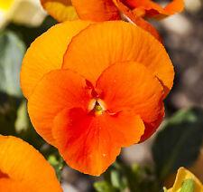 0.2g (appr. 200)  pure deep orange pansy seeds ORANGE SUN long blooming season