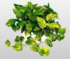 """Pothos Golden Devil's Ivy Plant Epipremnum 6"""" Hanging Pot Easy to Grow Indoor"""