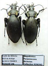 Carabus megodontus purpurascens bicinctus (pair A1) from FRANCE
