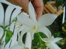 Dendrobium White Grace 'Sato' Bloom size Bare root Nice Plant 14A