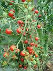 johannisbeertomate Rojo Tomates Tomates 10 Semillas Frescas Tomate SALVAJE