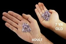"Amethyst Cluster 1"" 2 Oz Rocks and Minerals Specimen Healing Crystals and Stones"
