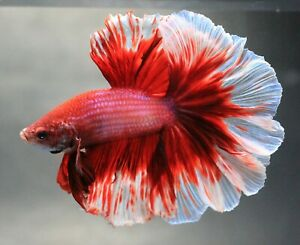Fish Thai Betta Pet RARE Live Fight Red Flower Halfmoon Plakat HM Male Plakad AA