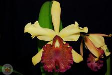 Cattleya dowiana 3 bulbs 1 new shoot 9 x 10 Y.P.