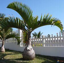 *50 fresh Seeds*Hyophorpe Lagenicaulis*Bottle Palm*free shipping*