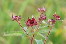 Potentilla palustris - Marsh Cinquefoil - 30 SEEDS - Pond Marginal Aquatic Plant