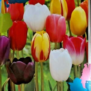 28 Tulip Flower Color Mix Bulbs White Red Purple Yellow Tulips Fall Plant Bulb
