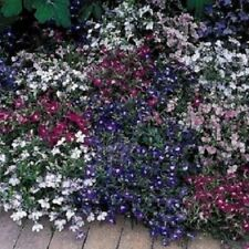 1,000 Lobelia Seeds Multi Pelleted Lobelia Riviera Mix Pelleted Seeds Bulk Seeds