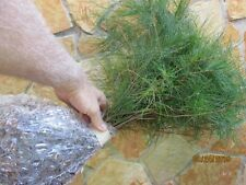 NORTH GEORGIA MOUNTAIN QTY-30-GROWN-WHITE-PINE-6-8-INCH-STARTER-TREE-SEEDLING