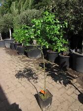 Poncirus trifoliata frosthart -25°C 100cm ! Bitterzitrone Dreiblättrige Orange