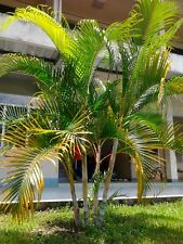 Chrysalidocarpus Lutescens Golden Cane Palm Areca Palm Fresh Viable Seed Tropica