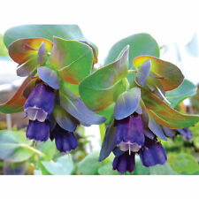 Cerinthe major purpurascens Honeywort x 35 seeds