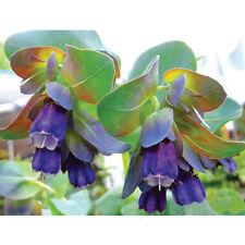 Cerinthe major purpurascens Honeywort 35 seeds