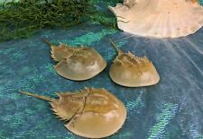 "hsc11 Taxidermy Ocean Horseshoe Crab display collectible specimen oddities 7-9"""