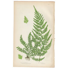 Anne Pratt antique 1st ed 1873 botanical fern print, Pl 296 Black Spleenwort